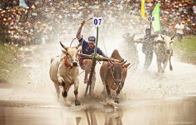 """<p> <strong>""""Quyết liệt"""" - Huỳnh Thu</strong></p> <p class=""""Normal""""> Hình chụp tại lễ hội Đua bò ở Tà Miệt, Tri Tôn, An Giang năm 2013.</p> <p class=""""Normal""""> </p>"""